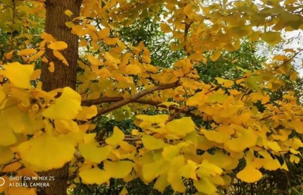 尤溪的古银杏又黄了,周末就出发!错过再等一年!